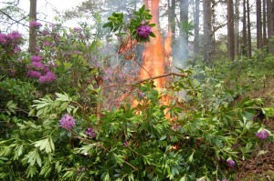 Rhododendrons being burned as part of invasive species control