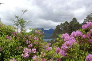 Rhododendrons frame the Torridon hills