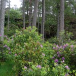 Rhododendrons choke the woodland