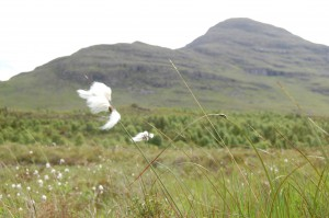 Bog cotton @bendamph