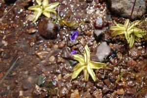 The carnivorous butterwort