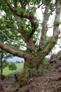 This chestnut can breathe now the rhododendrons are gone.
