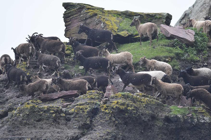 Wild soay sheep