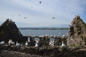 St Baldred's Chapel on the Bass Rock is thick with nesting birds.