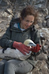 Me wearing safety glasses and gloves to keep gannet safe while scientists attach a tag.