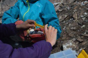 Measuring gannet beaks.