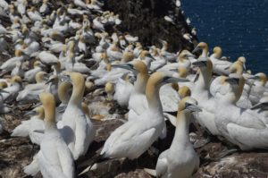Gannets crowd onto the Bass Rock.