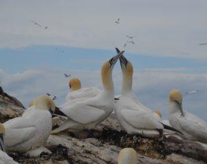 Gannets bonding.