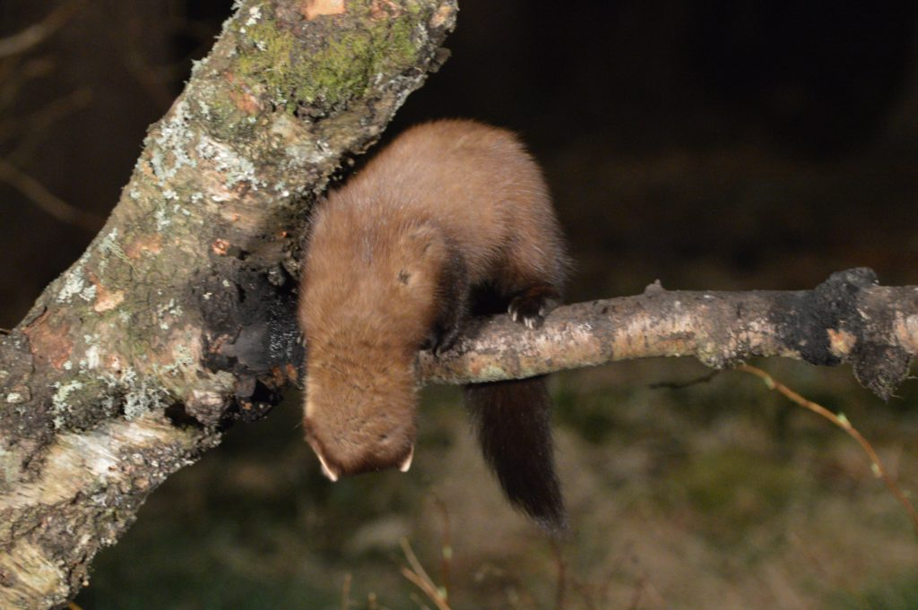 A pine marten looking for danger - and peanuts.